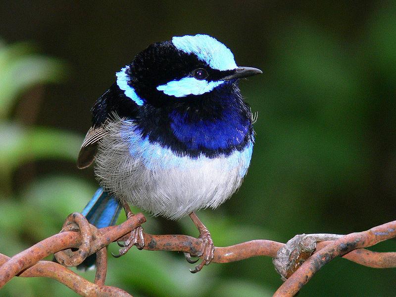 800px-Superb_blue_Wren1