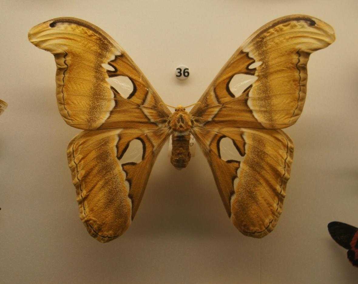An atlas moth